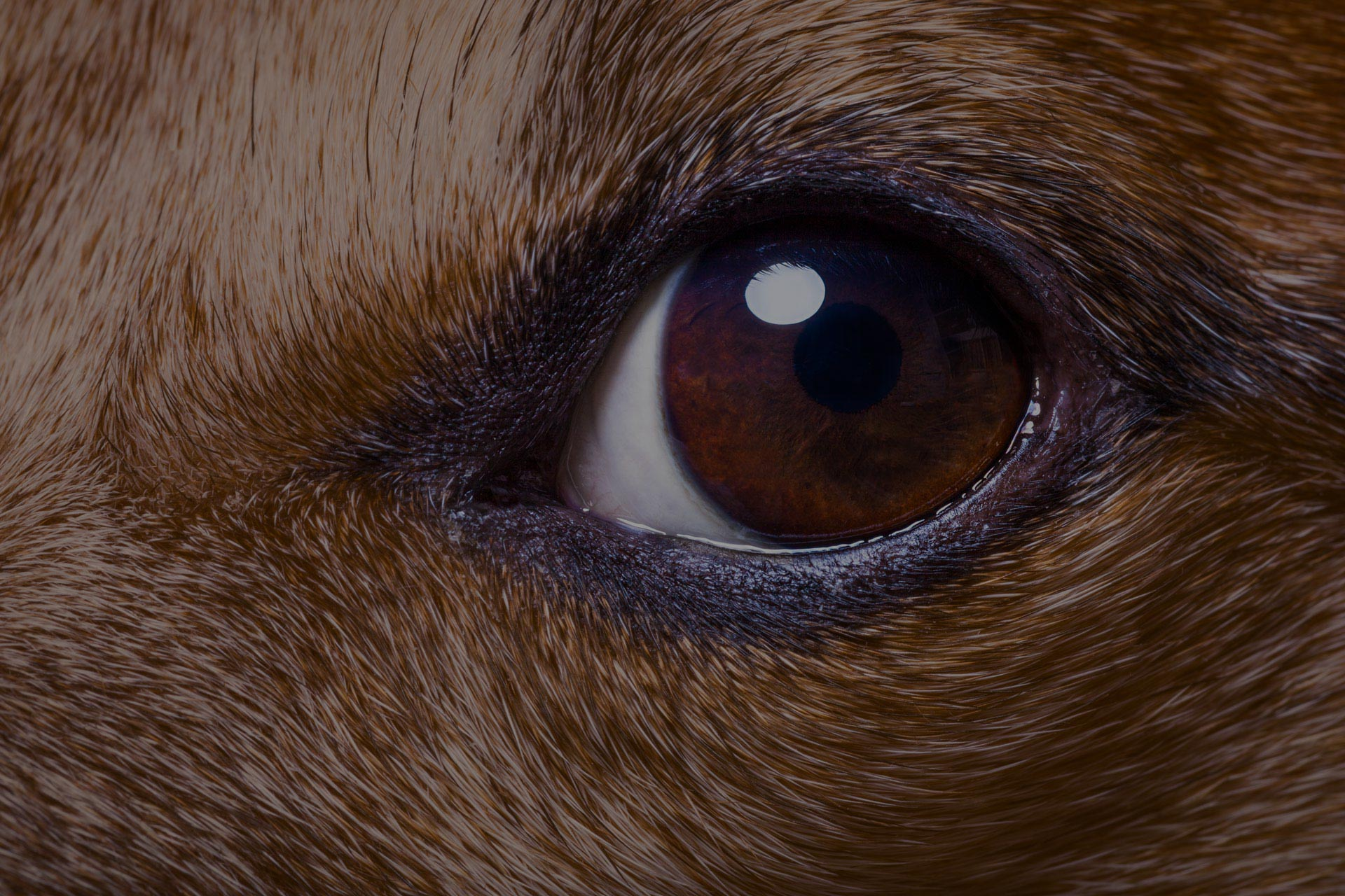 jack russell dog close up of the eyes