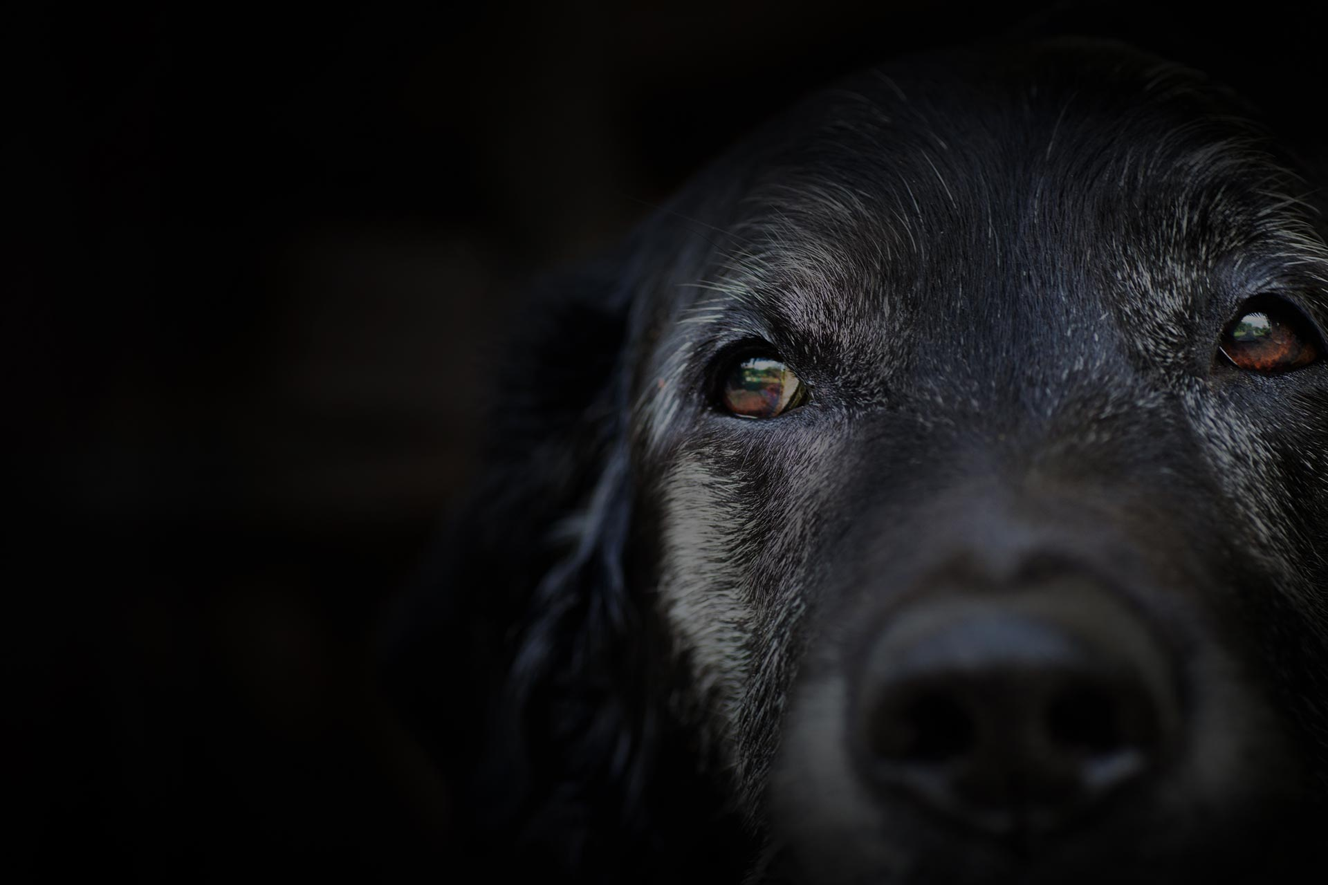 Animal - Old dog. labrador retriever macro shot.